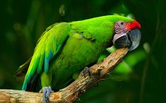 Download wallpapers Great green macaw, 4k, green parrot, beautiful bird, Ara ambigua, great military macaw, South America
