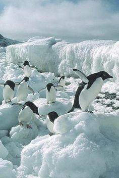 **Antarctica ~ see penguins play in their natural habitat.