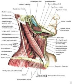 Anatomy Drawing Medical Human Anatomy and Physiology of Muscles Online on HubPages - Here is the list of skeletal muscles with their origins and terminations, as well as their functions. Images of skeletal muscles included. Head Muscles, Muscles Of The Neck, Types Of Muscles, Forearm Muscles, Gross Anatomy, Human Body Anatomy, Human Anatomy And Physiology, Neck Muscle Anatomy, Muscle Chart Anatomy