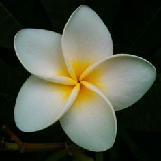 Plumeria, one of my favorite flowers for lei, in the Garten der Welt, Berlin (!!) of all places.  I know Plumeria like warm weather so I'm thinking as beautiful as this flower is it probably doesn't have much of a fragrance // phtoto by Melanie Schmidt, 2010