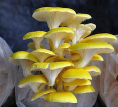 Verschillende niveaus (Yellow Mushroom by Harir Hariri on Yellow Mushroom, Mushroom Art, Mushroom Fungi, Mushroom Hunting, Beautiful Bugs, Beautiful Flowers, Wild Mushrooms, Stuffed Mushrooms, Mushroom Pictures
