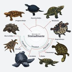 Testudinata: The Cladogram This post will be updated should someone correct a mistake. Head to the original post on tumblr to see the up to date version. http://franzanth.tumblr.com/tagged/cladogram  Available as posters and stickers from redbubble @franzanth  #science #scientificillustration #paleontology #biology #animal #nature #prehistoric #phylogeny #cladistics #evolution #art #drawing #illustration #diagram #chart #infographic #cladogram #graphicdesign #reptile #testudinata…