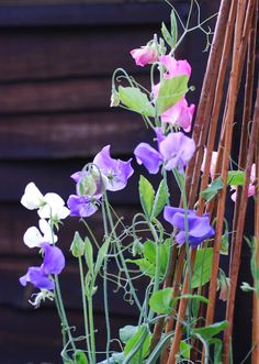Sweet peas, a must for any garden in my opinion! (-: #sweet peas