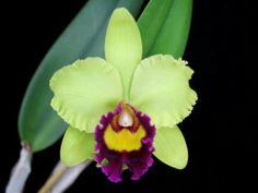 Cattleya hybrid orchid Blc. Beverly Blietz 'Halona' AM/AOS - chartreuse flowers http://www.amazon.com/dp/B009WS70QS/ref=cm_sw_r_pi_dp_yABntb1NQ9AKRJM9