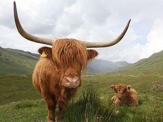Highland Cow and Calf   Flickr - Photo Sharing!