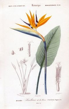 Wallpaper vintage flores botanical prints 21 ideas for 2019 Botanical Drawings, Botanical Prints, Watercolor Flowers, Watercolor Paintings, Paradise Wallpaper, Scientific Drawing, Birds Of Paradise Flower, Vintage Birds, Antique Prints