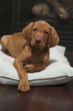 Vizsla puppy. Can't wait!!