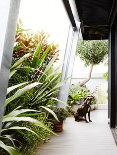 North side of balcony. Gymea Lily (Doryanthes excelsa) is planted along the North wall, with large strappy leaves. Photo – Annette O'Brien for The Design Files