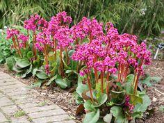 A bőrlevél árnyékos kert részben is szépen fejlődik