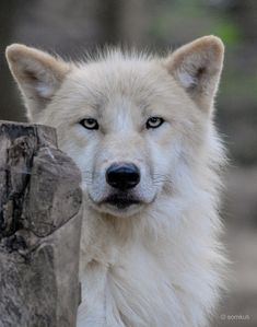 Arktischer Wolf (Canis lupus arctos) - Sandor Somkuti