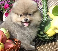 Pomeranian for sale near me,ready for rehome now Pomeranian Puppy For Sale, Puppies For Sale, Cute Puppies, Lil Boy, Pomeranians, Teacup, Cute Animals, Dog, Future