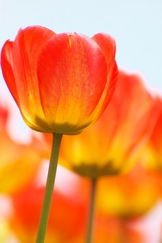 Fave Five by Jennifer Salaiz (Aug 26, 2013) 4. flower – tulip