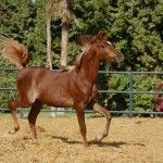 Shahim HabibCo - A Chestnut #Arabian #Stallion Born 30 March 2013, #Egypt. Straight Egyptian, Hadban Enzahi Strain.