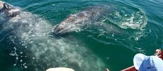 Gray Whale Babies Getting Schooled