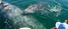 Baja Gray Whale Watching Tour  San Ignacio Lagoon, Ojo de Liebre (Scammon's Lagooon), Magdelana Bay. Visit www.graywhalewatching.com