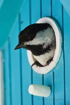Black capped chickadee in turquoise bird house