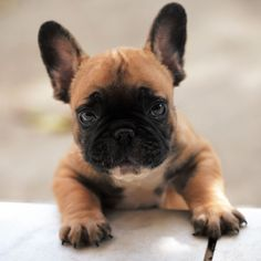 Bentley, French Bulldog Puppy