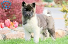 This amazing and very social Akita puppy will make you the talk of the town with her movie star looks! This baby doll will surely be the loving companion Akita Puppies For Sale, Cute Puppies, Corgi Puppies, Equine Photography, Animal Photography, Black Labrador, Black Labs, American Akita, Dog Grooming Business