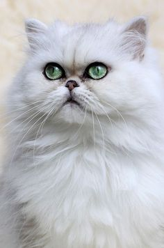 #ColourfulXmas Couldn't find a chinchilla persian as beautiful as mine but the eye colour is quite close here. #PersianCat