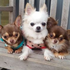 Aye Tres Chihuahuas! Que Bonitas!!! #chihuahua