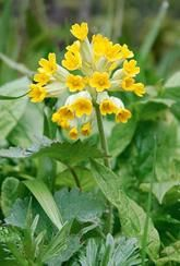 Primula veris-Wild cowslip-Plants