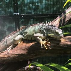 Reptile Room, Reptile Cage, Reptile Enclosure, Iguana Care, Iguana Pet, Cute Reptiles, Reptiles And Amphibians, Cute Lizard, Snakes