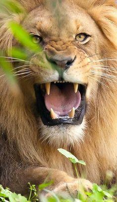 lion by dina wooten