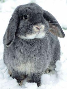 Adorable Pet Rabbit <3 Mini Lop Bunnies, Baby Bunnies, Cute Bunny, Bunny Rabbits, Adorable Bunnies, Cutest Bunny Ever, Indoor Rabbit, Rabbit Cages, Rabbit Hutches