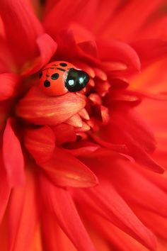 LADYBUG ON RED FLOWER .