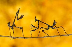 I challenge you to a duel! These praying mantises were caught in a kerfuffle in Kahramanmaras, Turkey. (photo: Mehmet Karaca/National Geographic Photo Contest)