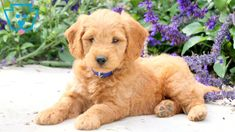 Nickel | Goldendoodle - Miniature Puppy For Sale | Keystone Puppies F1b Labradoodle, Goldendoodle Miniature, Miniature Puppies, Goldendoodle Puppy For Sale, Cuddle Buddy, Lap Dogs, Puppies For Sale, Cuddling, Dog Lovers