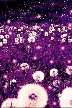 Purple Dandelion Fields