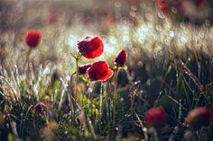 spring anemones ∞