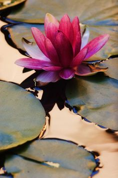 lily pads and water lilies Lotus Symbol, Deco Floral, Water Garden, Mother Nature, Planting Flowers, Flowers Garden, Beautiful Flowers, Simply Beautiful, Photos