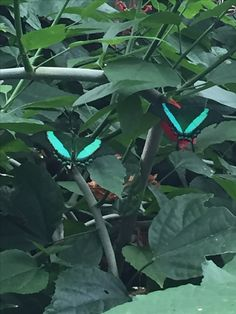 Teal butterflies at the Butterfly Conservatory Niagara Falls Canada 2016.