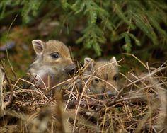 POHÁDKA: Jak usínají prasátka - Wildlife in the Evening Kangaroo, Ale, Hunting, Wildlife, Nature, Animals, Products, Baby Bjorn, Naturaleza