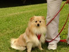 ILLON...EVANS CITY, PA....Hi, my name is Dillon. I am a very handsome 1 1/2 year old Pomeranian/Sheltie mix. I weigh about 13 pounds.I was rescued from a dog hoarder and had very little socialazation.  I went into my foster home, and had to learn everything from scratch:  I...