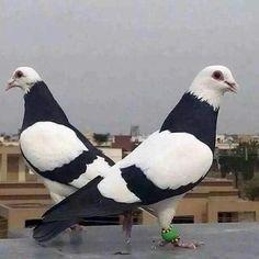 Pigeons                                                                                                                                                                                 More