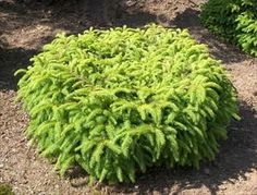 47 Best Garden Conifers Images In 2019 Trees Shrubs