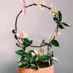 My Hoya Carnosa Variegated Tricolor has never looked this pretty! Can't wait for her to fill the whole circular loop and reaching her full… House Plants Decor, Plant Decor, Garden Plants, Indoor Plants, Belle Plante, Hoya Plants, Plants Are Friends, Pink Plant, Succulents