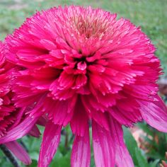 Echinacea Southern Belle - A new addition to our Cone-Fection Series, this beauty has big, fluffy hot magenta-pink flowers on sturdy stems.