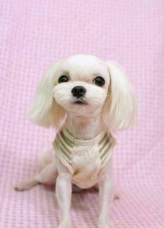 Korean Dog Grooming Style — Maltezer