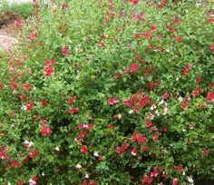 Hot Lips Sage (Salvia microphylla 'Hot Lips')