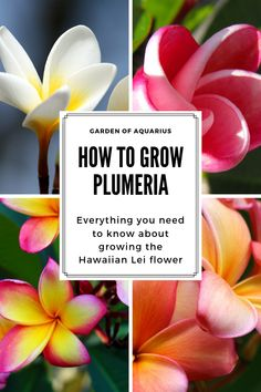 In my complete guide I will teach you how to grow beautiful plumeria from cuttings anywhere even in cold climates. How to plant fertilize water g Plumeria Care, Plumeria Flowers, Tropical Flowers, Hawaii Flowers, Indoor Flowers, Outdoor Plants, Garden Plants, Outdoor Gardens, Flowering Plants