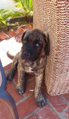 #English #Mastiff puppy
