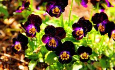 pansies- childhood memory of picking them from grandmas house