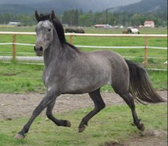 Azteca is a mix of Andalusian, Lusitano, Quarter Horse, and Criollo .