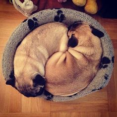 These two pugs look ever so cosy Our girls do this too, well when they are not biting one another.