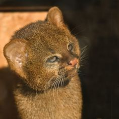 jaguarundi cubs r now officially the CUTEST!