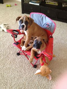 Thor and Paisley.  Boxer puppies